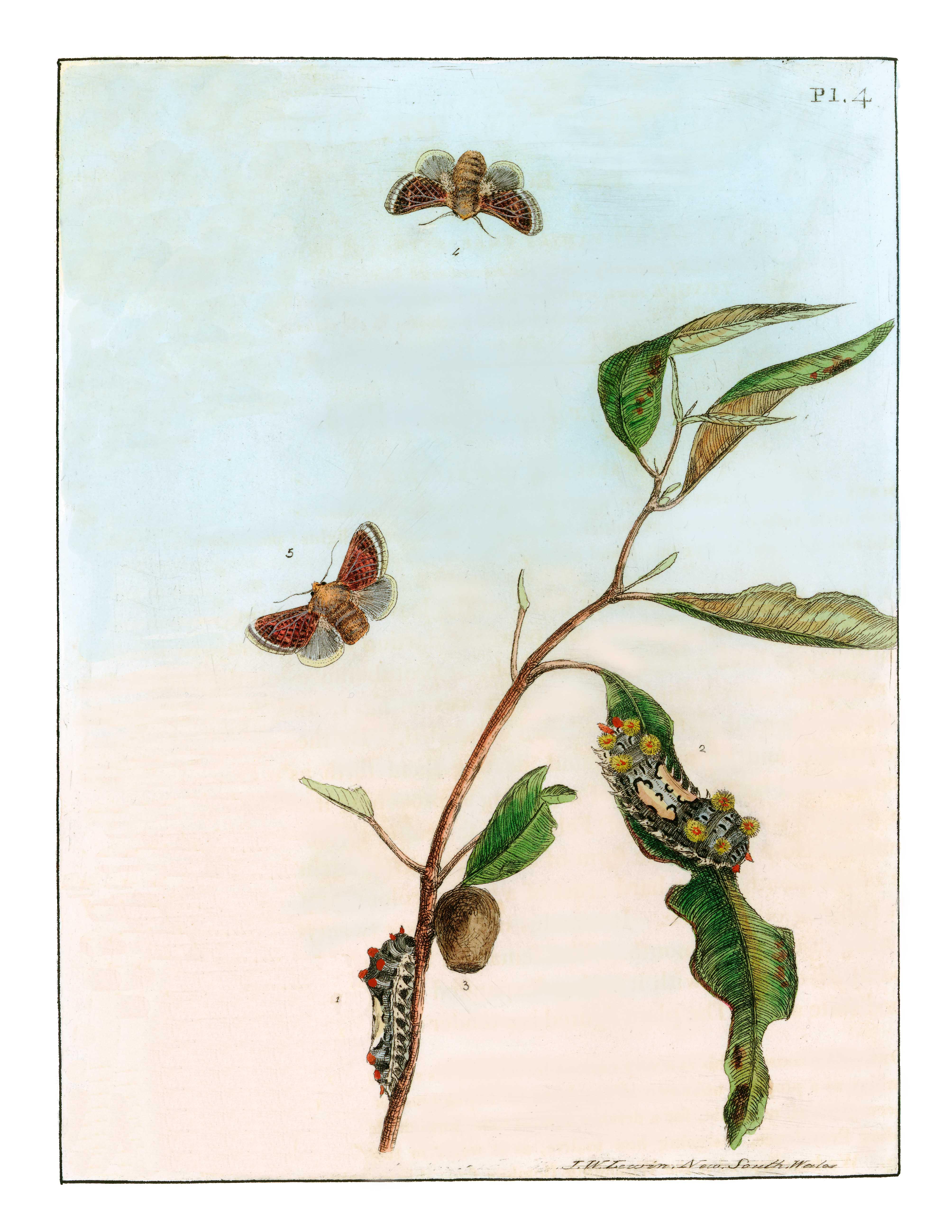Lewin's lepidoptera